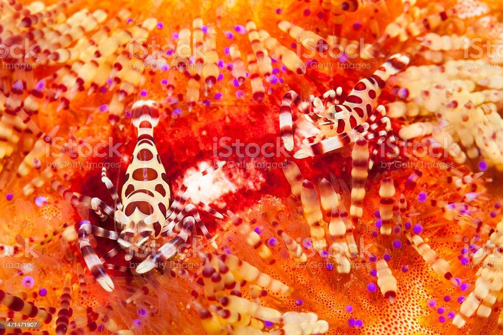 Coleman Shrimps Periclimenes colemani on variable Fire Urchin Asthenosoma varium stock photo