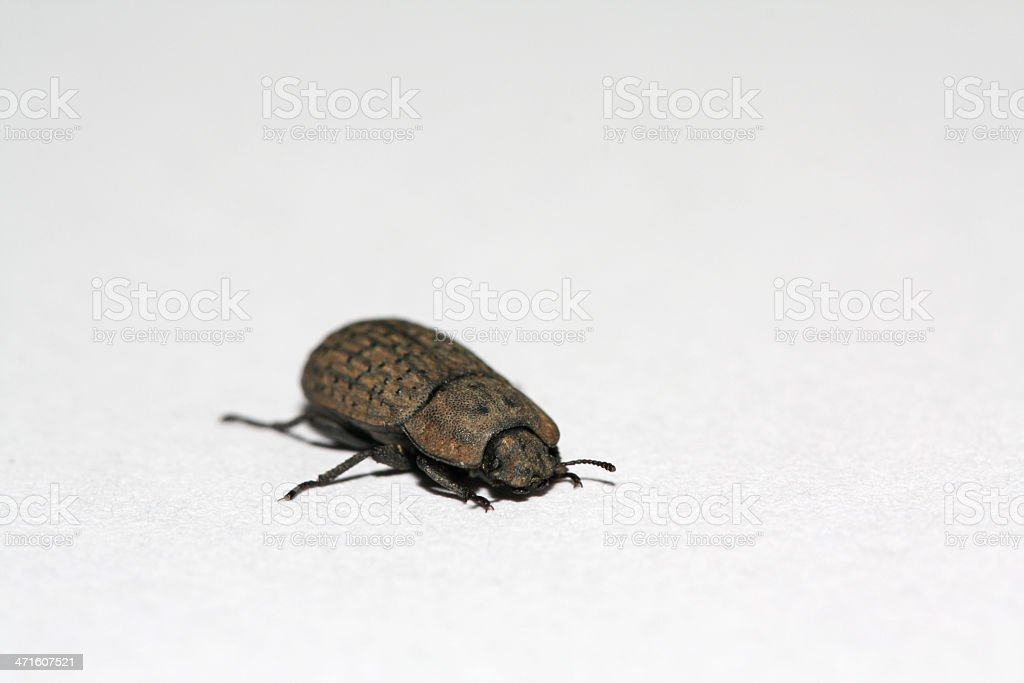 coleoptera beetles royalty-free stock photo