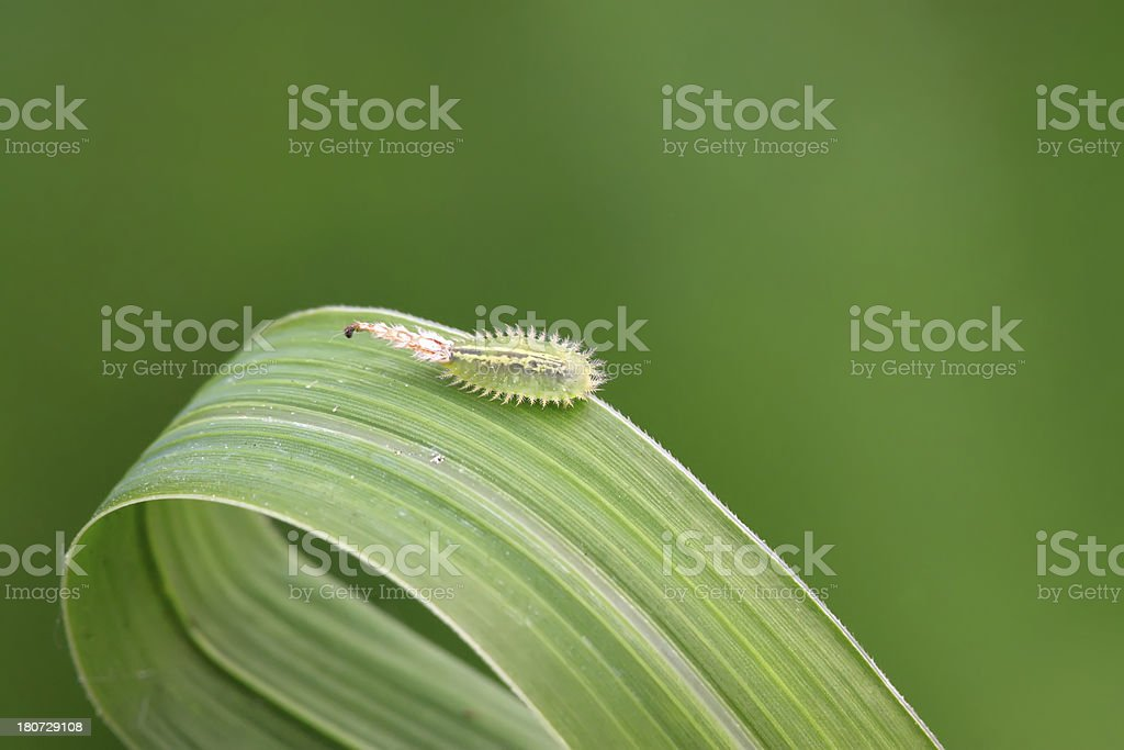 coleoptera insects royalty-free stock photo