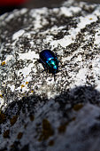 coleottero sulla roccia, beetle on the rock
