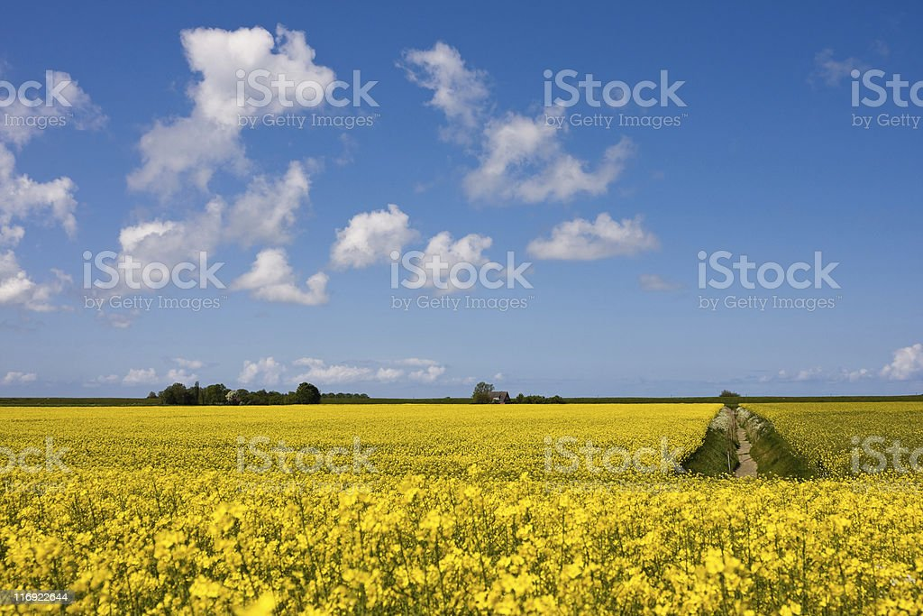 coleseed countryside royalty-free stock photo