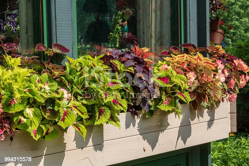 Multi-colored coleus and begonias in a window box