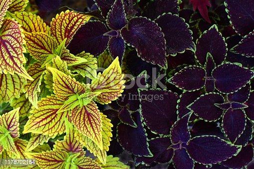 Coleus blumei, plant with color leaves. Decorative background, natural pattern. (Solenostemon scutellarioides).