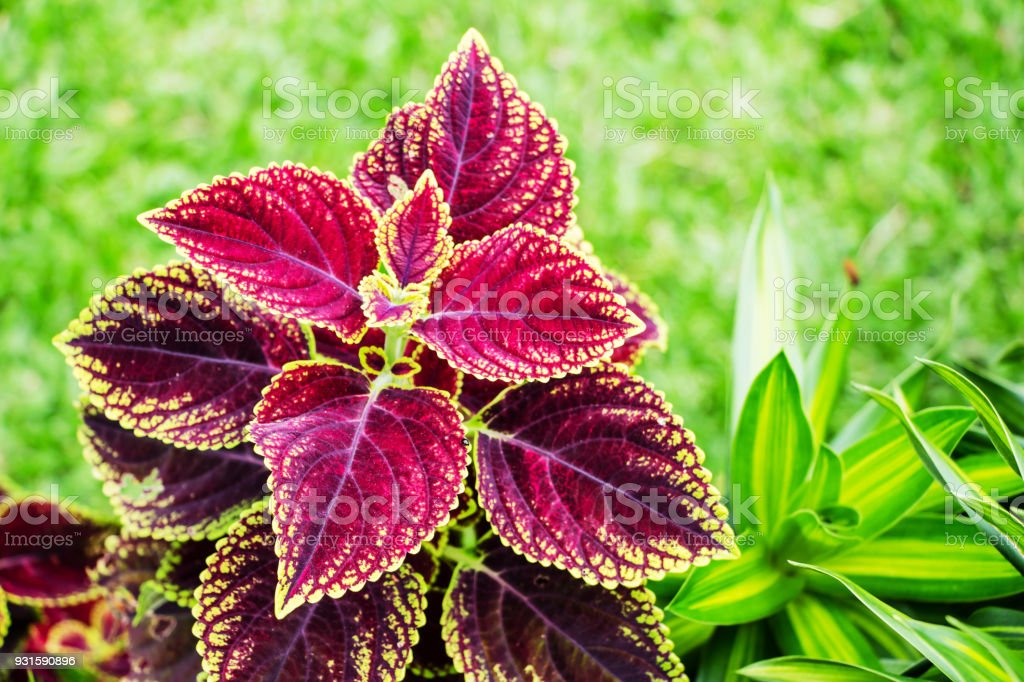 coleus blumei stock photo