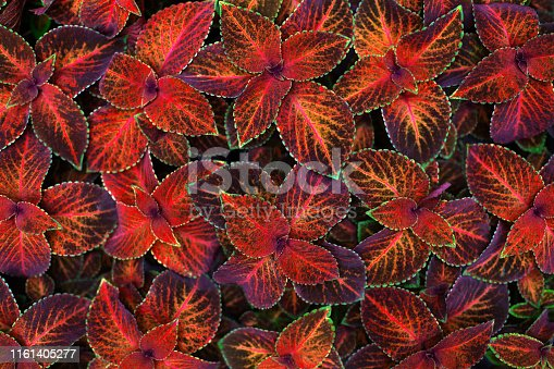 Coleus dark red, pink, black and green leaves decorative background close up, painted nettle plant, exotic orange foliage texture, abstract natural pattern, colorful grunge floral design, copy space
