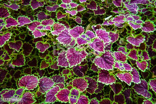 Beautiful decorative green and purple coleus leaves in a summer garden