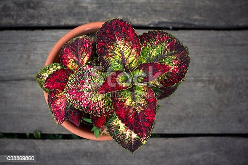 Coleus in flowerpot in grey wood high angle view
