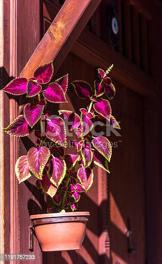 Coleus is a former genus of flowering plants in the family Lamiaceae.
