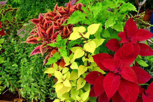 Coleus: Blätter und Blumen – Foto