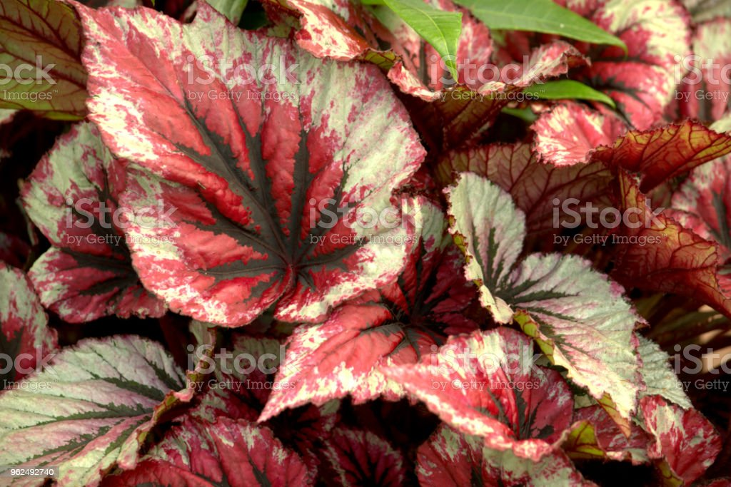 Coleus leaves - Royalty-free Backgrounds Stock Photo