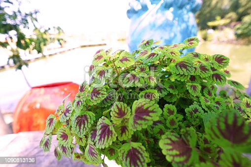 Coleus or Painted nettle decorated plant