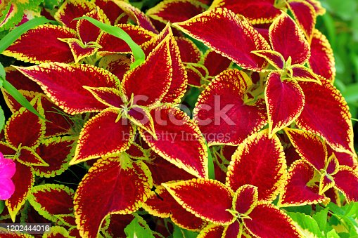 Foliage plant of multi-colored decorative leaves, such as green, red, pink, purple, yellow and white, and spikes of blue flowers.