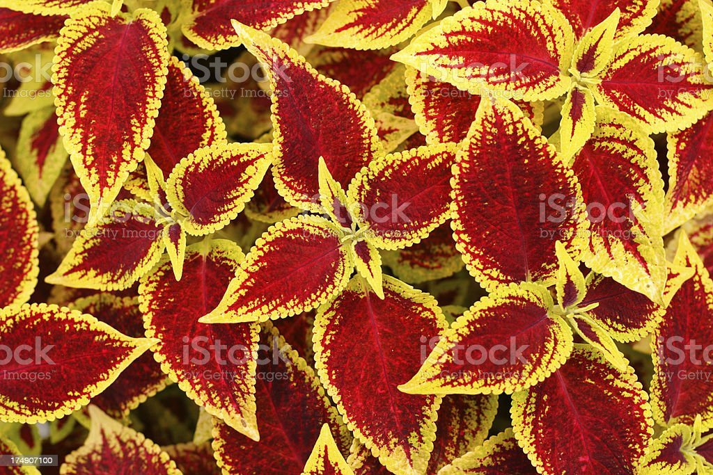 coleus royalty-free stock photo
