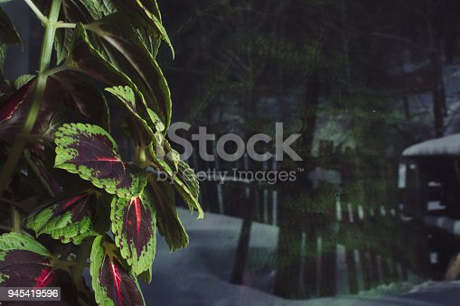 Varicolored leaves of coleus close-up on window glass backdrop. Picturesque background image of bright leaves of beautiful houseplant.
