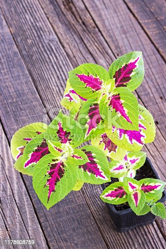 Coleus plant in pot on wooden background