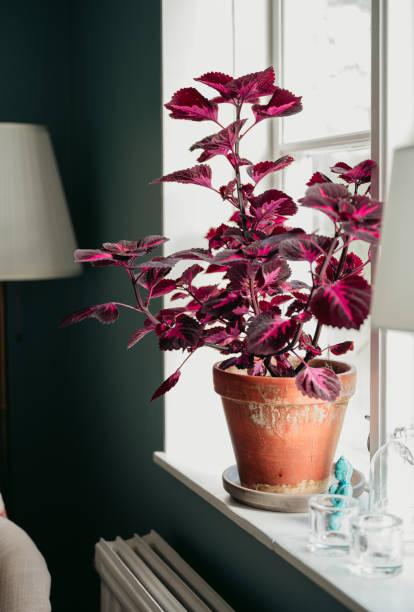 planta de coleus en ventana interior en casa - foto de stock