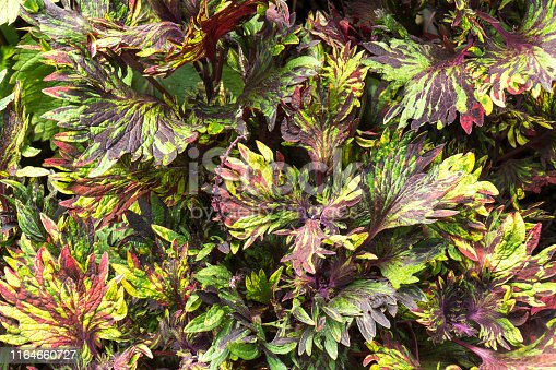 Coleus plant, Painted nettle leaves in the garden background. ( Coleus blumei )