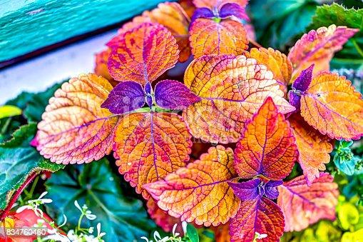 Coleus plant red color vibrant vivid leaves macro closeup