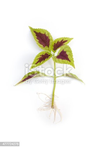 Coleus seedling with visible root isolated