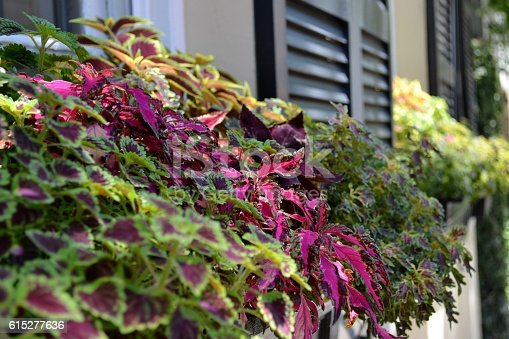 Beautiful window box overflowing with Coleus. By using a shallow depth of field I focused on the row of purple leaves enhancing the beauty of the flower box.