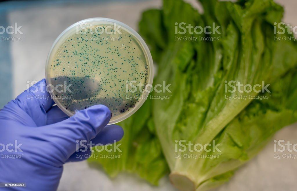 E coli contamination in romaine lettuce stock photo