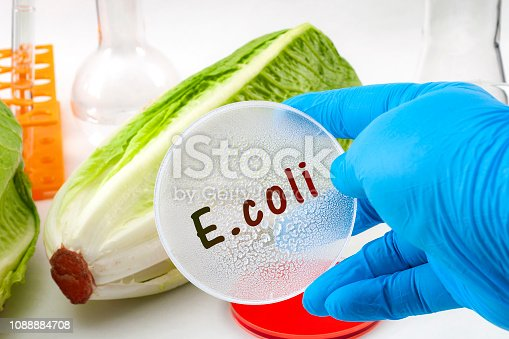 E. coli outbreak concept theme with scientist testing romaine lettuce for Escherichia coli bacteria in a lab, surrounded by chemistry flask and test tube and wearing blue latex protective gloves