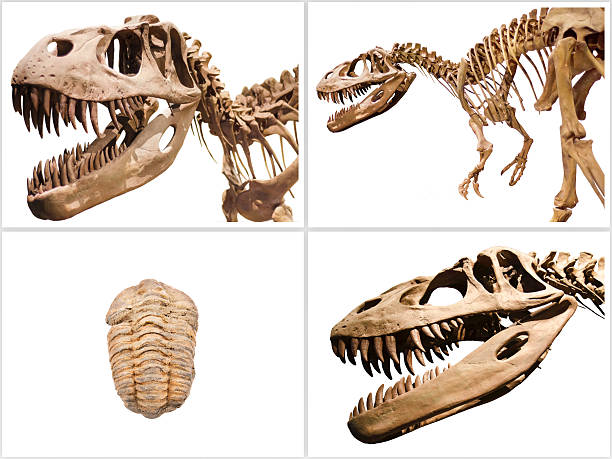 Collage composition of dinosaurs skeletons on white isolated background. ストックフォト