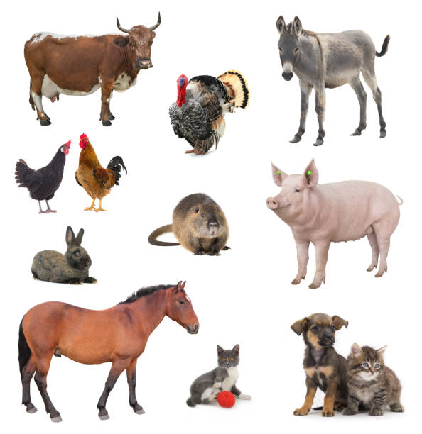 Collage livestock isolated on white picture id1124489700?b=1&k=6&m=1124489700&s=612x612&w=0&h=johjkqkitde4yqxxicuyi4aejsth7mhcae4o7c1t yo=