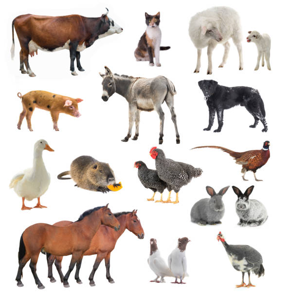 Collage livestock isolated on white picture id1124489703?b=1&k=6&m=1124489703&s=612x612&w=0&h=loove72xckirg7wkvqrl3umsdrry3ngcym3a kybhvc=