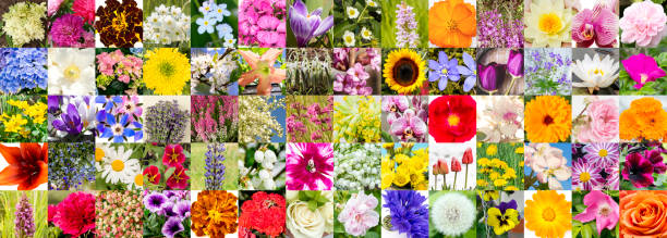 Collage mosaic of summer flowers blossoms in europe lot of different picture id1188962856?b=1&k=6&m=1188962856&s=612x612&w=0&h=hh jautjshiazuafvvbrv0mtnunaguxbohyxipfzzyk=