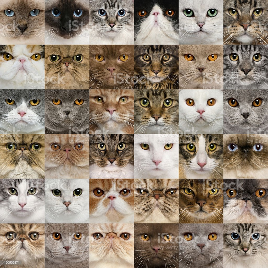 Collage of 36 cat heads. stock photo