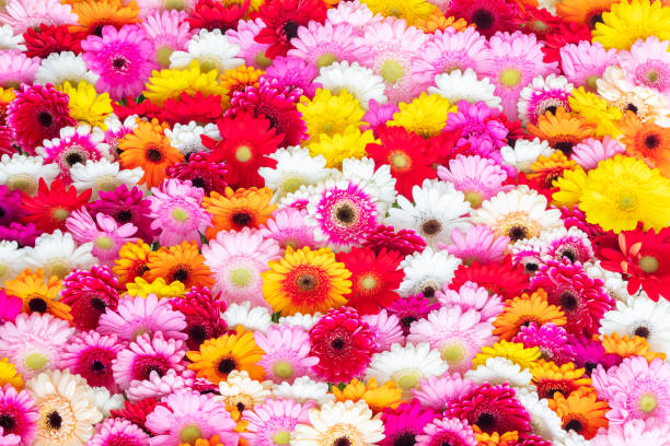 Collage of blooming gerbera flowers picture id1153908978?b=1&k=6&m=1153908978&s=612x612&w=0&h=obt2zi15bl12seeax oasjllzyu8suyok ttvmma91c=