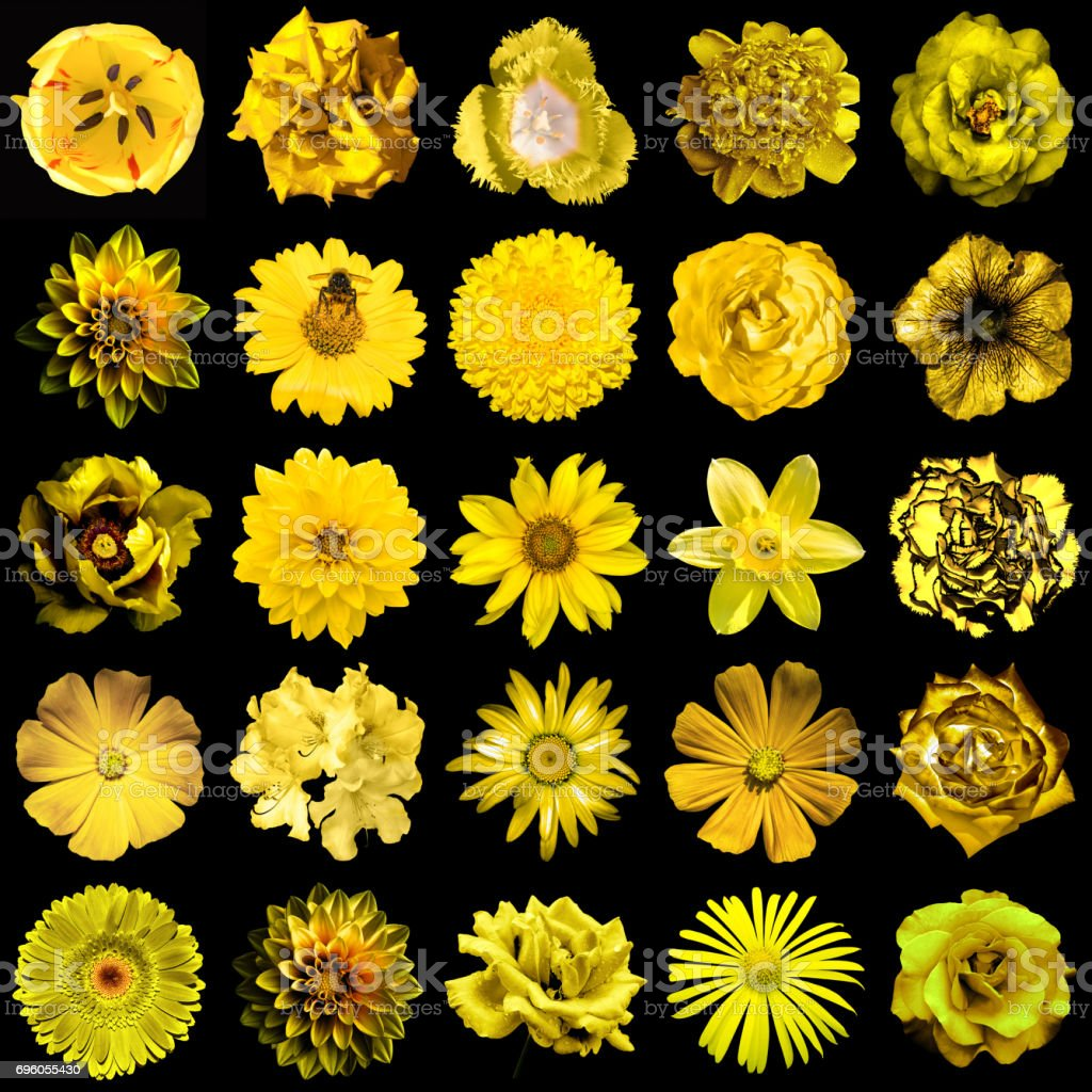 Collage of natural and surreal yellow flowers 25 in 1: peony, dahlia, primula, aster, daisy, rose, gerbera, clove, chrysanthemum, cornflower, flax, pelargonium, marigold, tulip isolated on black stock photo