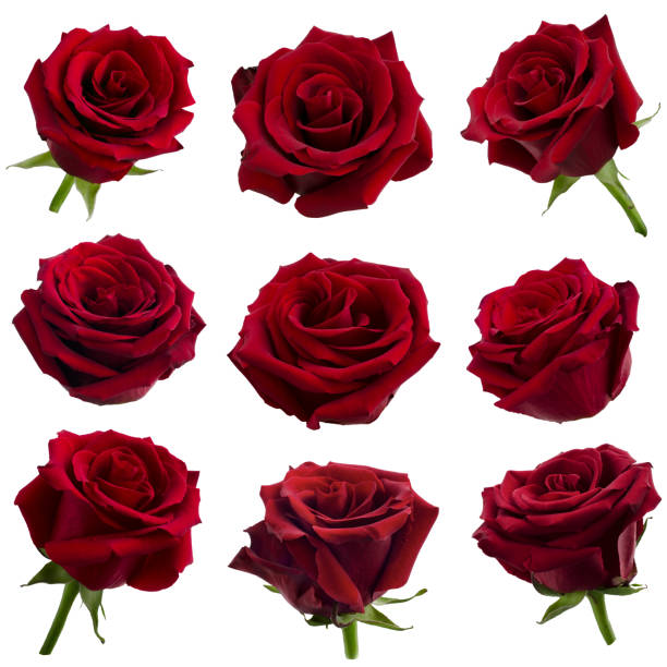 Collage of red roses picture id1147490636?b=1&k=6&m=1147490636&s=612x612&w=0&h=tz6iaukyf9ey64rbb97stgjyb2zwmuftbfwhepqfkyw=