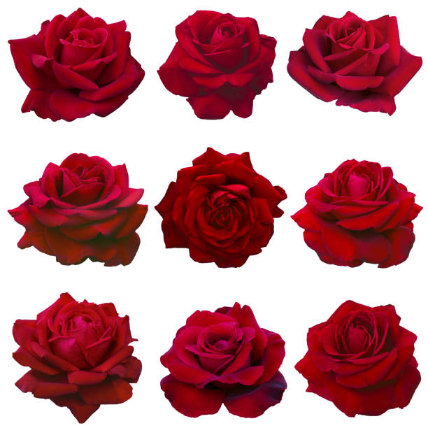Collage of red roses picture id882856062?b=1&k=6&m=882856062&s=612x612&w=0&h=xjv6nn8bi4ymchyz3eksuc1lbm8cx5tm96n3do hd2m=