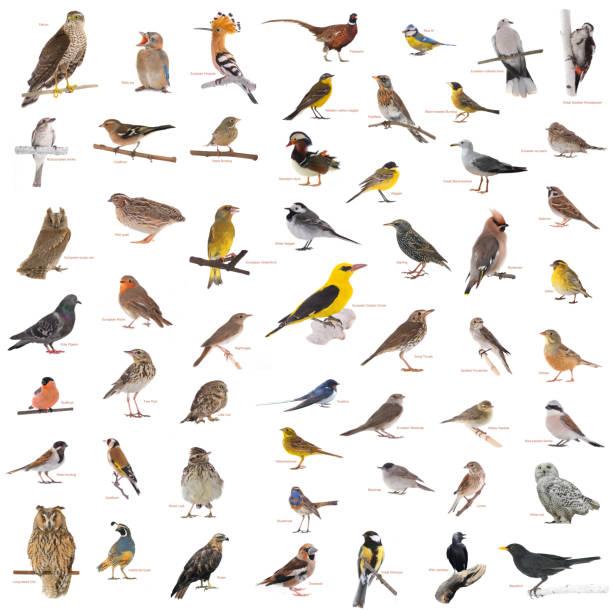 collage van de wilde vogels met namen - zanger vogel stockfoto's en -beelden
