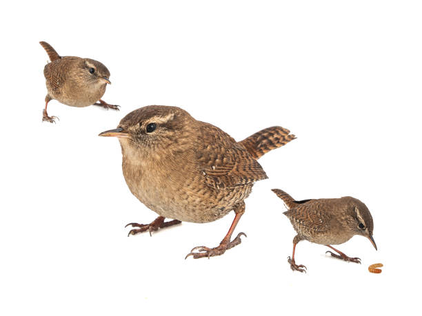 Collage of three Eurasian Wren, Troglodytes troglodytes, isolated on white background. stock photo