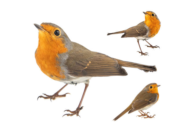 Collage of three European robin, Erithacus rubecula, isolated on a white background stock photo