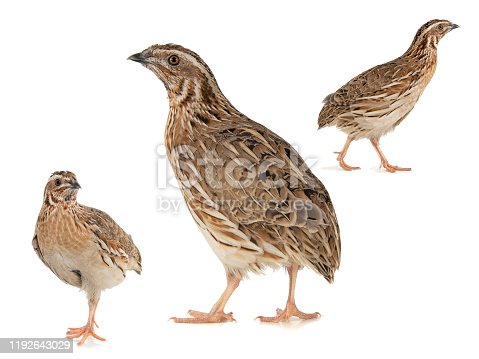 Collage of three Wild quail, Coturnix coturnix, isolated on a white background.