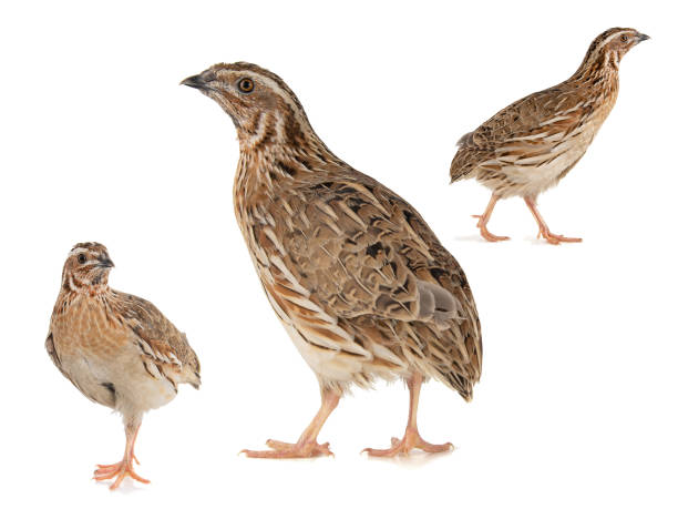 Collage of three Wild quail, Coturnix coturnix, isolated on a white background stock photo
