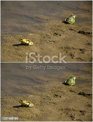Collage of two Frogs Standing in the Swamp by focusing each.