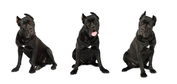 Collage set of three Cane Corso dog looking at the camera Collage set of three Cane Corso dog looking carefully at the camera, isolated on white background cane corso stock pictures, royalty-free photos & images