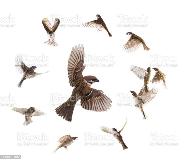 Collage sparrows flies isolated on white picture id1130321558?b=1&k=6&m=1130321558&s=612x612&h=cuwcl3x7o2t1 gpzvnc7yf5pw6dszymyn0wqs55yziw=