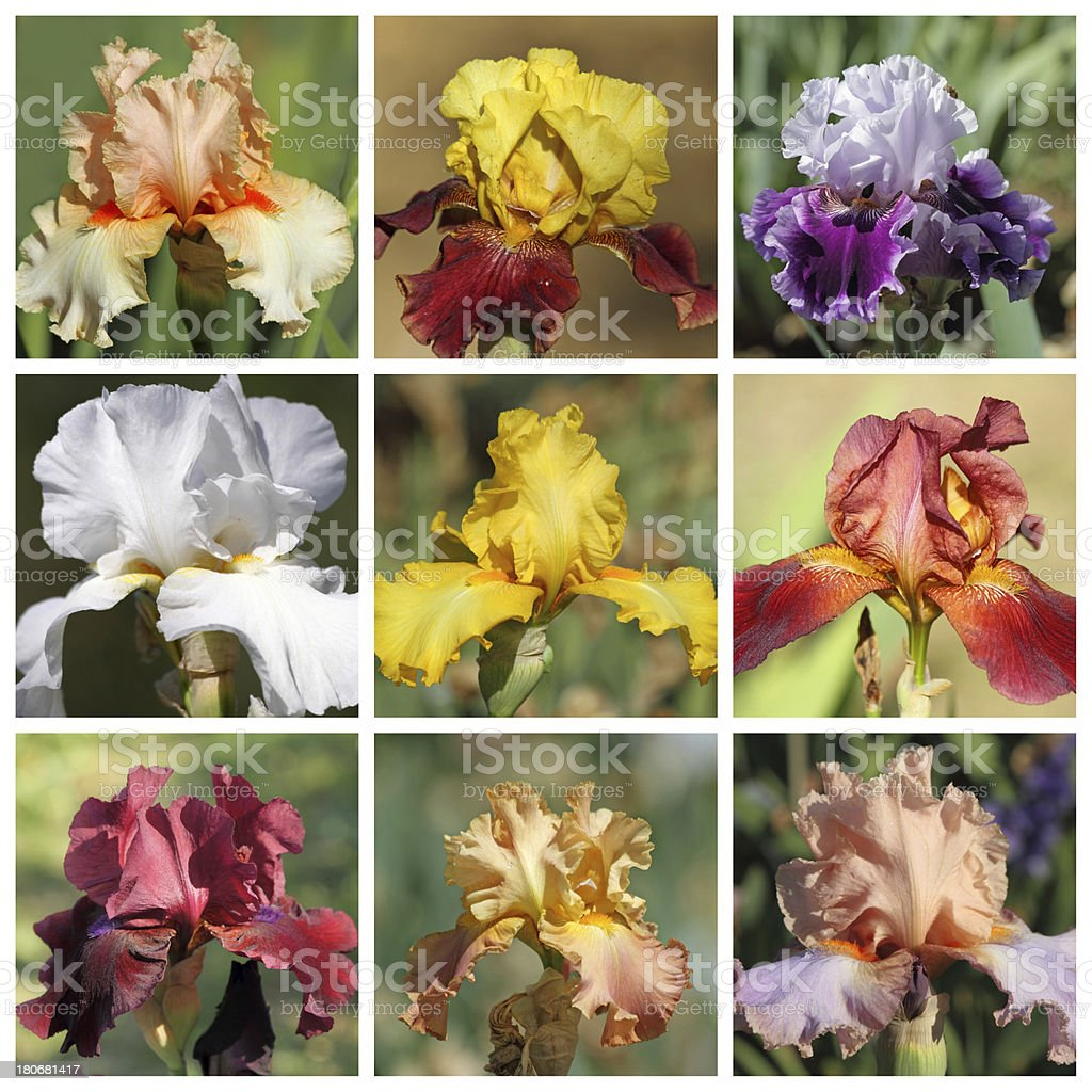 collage with bearded iris flowers royalty-free stock photo