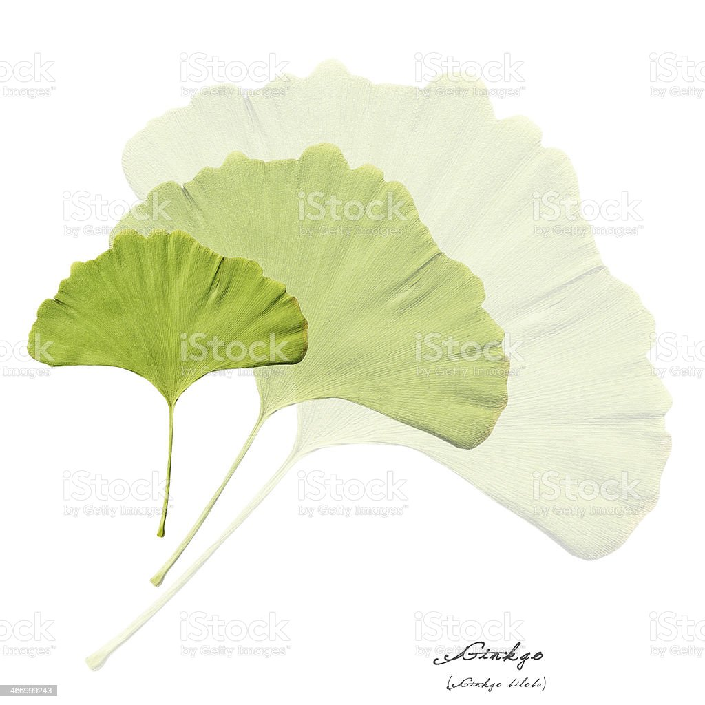 Collage with green ginkgo leaves royalty-free stock photo