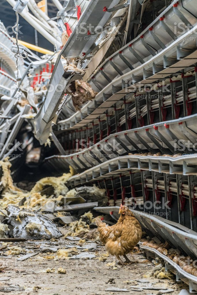 Collapsed structures of an agricultural building with damaged and stopped production line of chicken eggs of a poultry farm. Lonely wandering chicken. stock photo