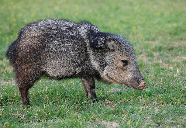 collarded peccary or javelina - javelina stock pictures, royalty-free photos & images