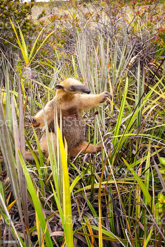 Collared Anteater stock photo