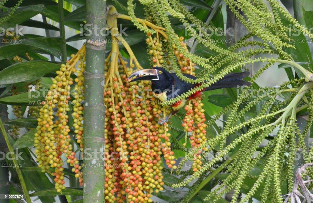 Collared Aracari in the wild near La Fortuna, Costa Rica.