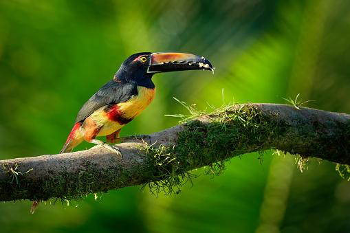 istock Collared Aracari - Pteroglossus torquatus is toucan, a near-passerine bird 1127267196